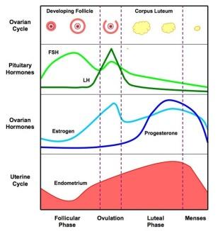 menstrual_cycle hormones bioninja